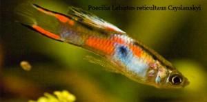 Poecilia Lebistes reticulatus Czyslanskyi