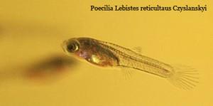 Poecilia Lebistes reticulatus Czyslanskyi juvenil